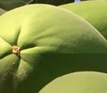 Papaya Premium